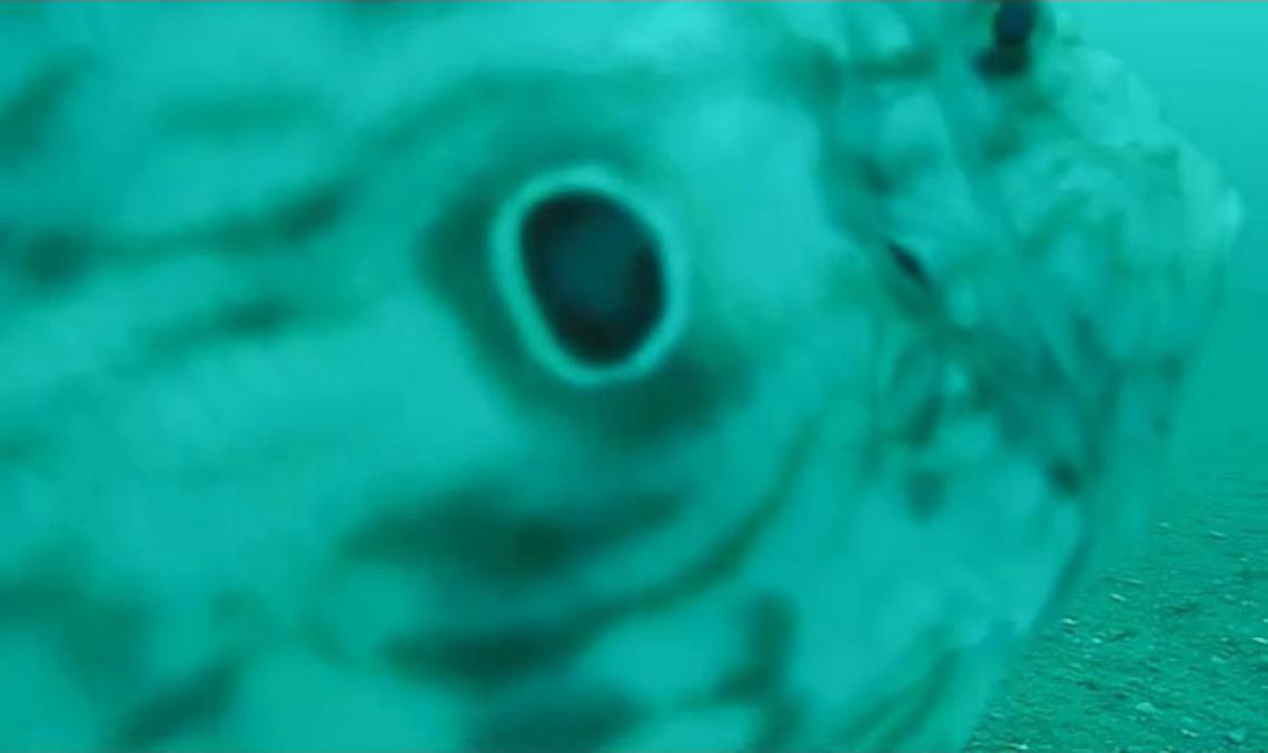 Saint-Pierre (Zeus faber). Ce poisson, marqué d'une tache circulaire sombre sur ses flancs, vit en solitaire ou en petits groupes sur les fonds sableux du plateau continental. Il se déplace lentement en ondulant ses grandes nageoires.